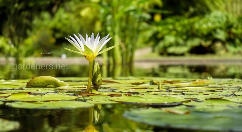 Як розмножити водні рослини