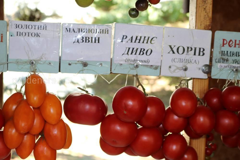 Сорта томатов, золотой поток, хорив, раннее чудо