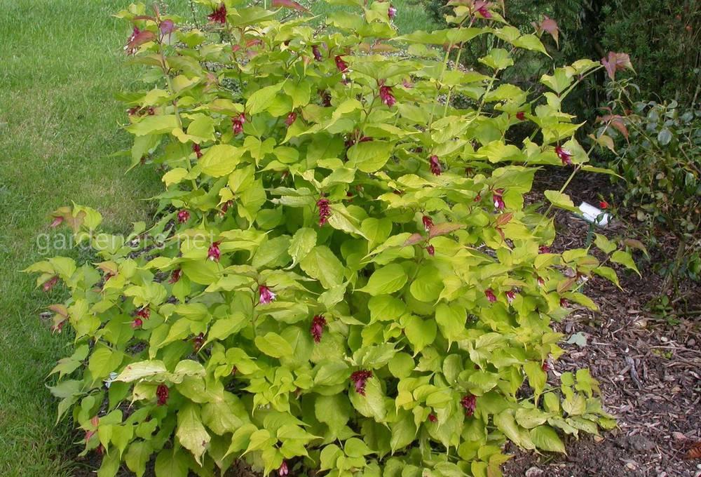 Leycesteria formosa Gold Leaf