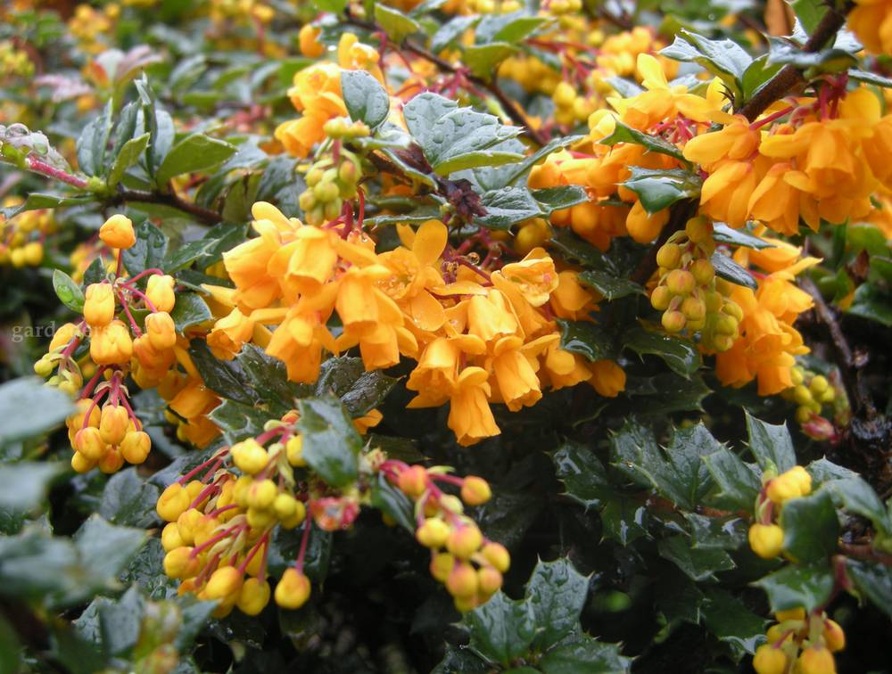 7-berberis-darwinii-flower.jpg
