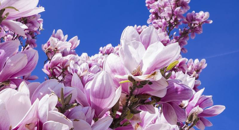 magnolia-2215760_1920.jpg