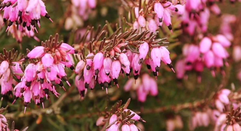 Еріка - чудова квітка, якій не страшний холод