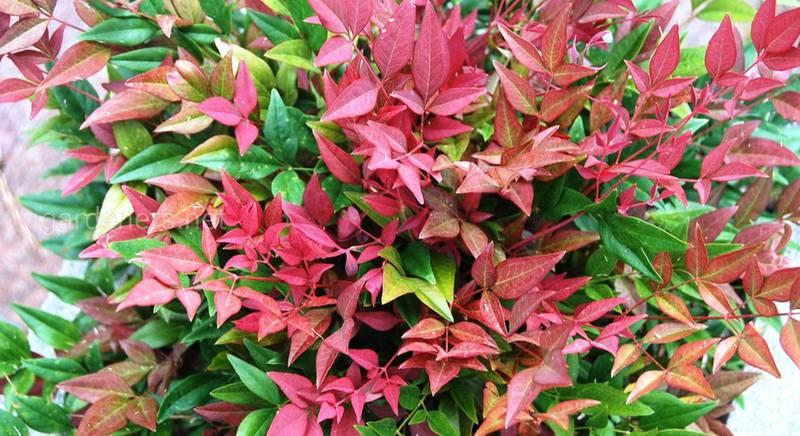 Нандін: різноманітність сортів чудового чагарнику з барвистим листям