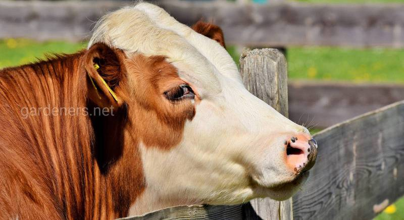 Скільки важить корова