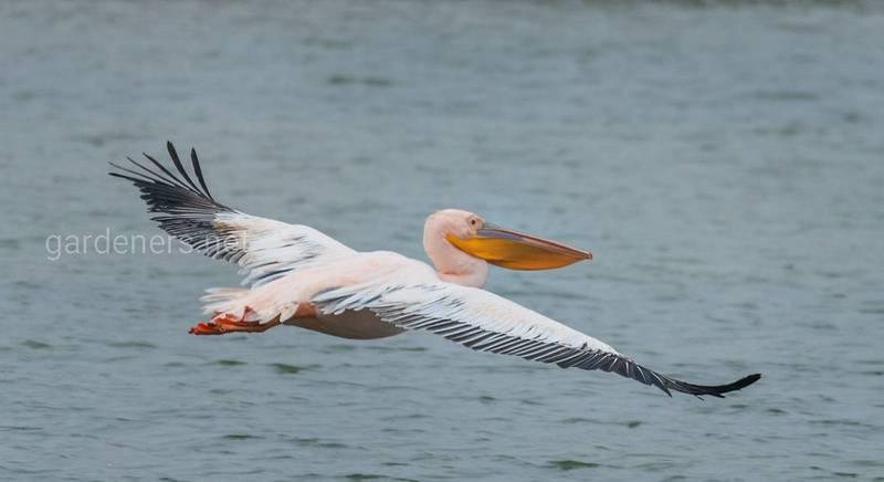 13 интересных фактов о пеликанах