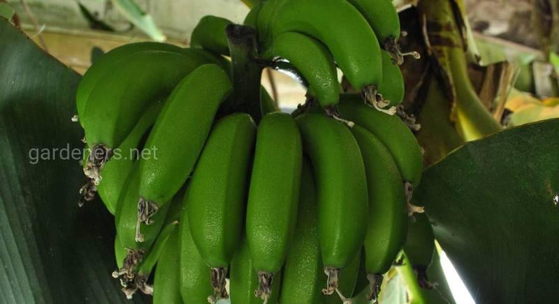 plody_banana (1).JPG