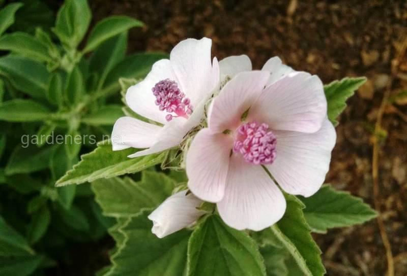 Який грунт необхідний для вирощування лікарських рослин в органічному землеробстві?