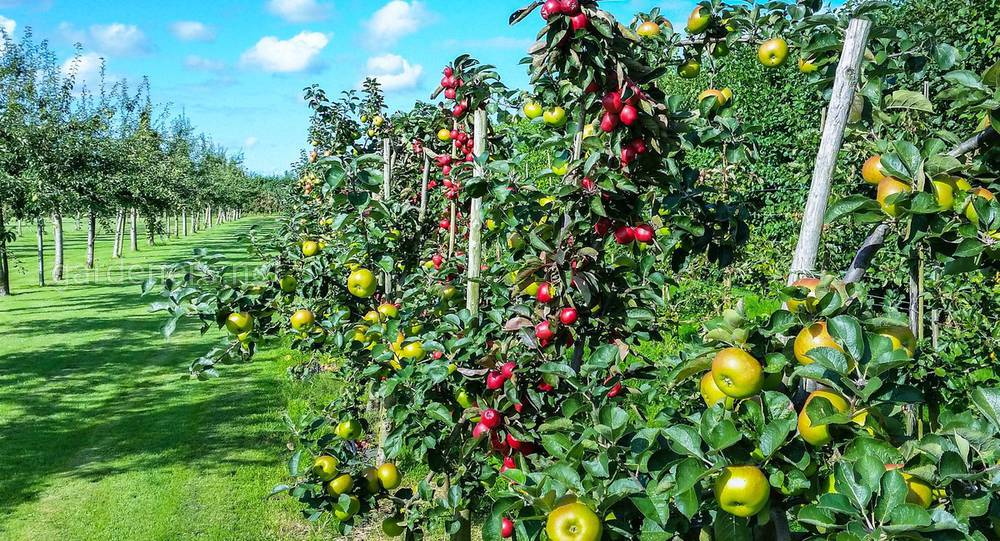 посадка фруктового сада