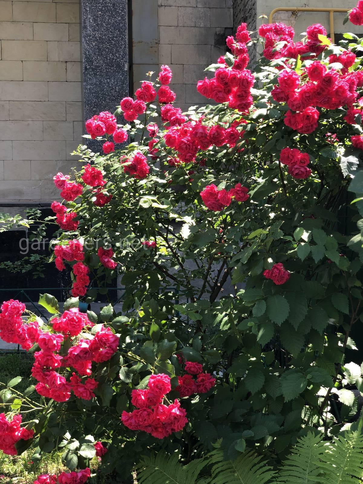 Это куст роз?