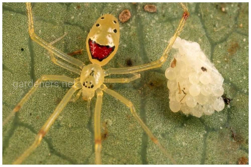 Павук Смайлик