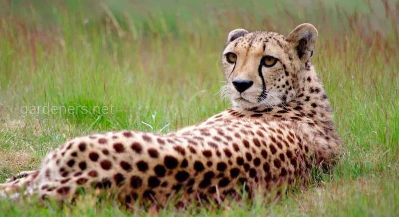 13 цікавих фактів про гепардів