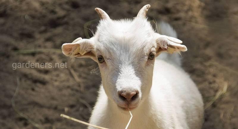 Беременность коз