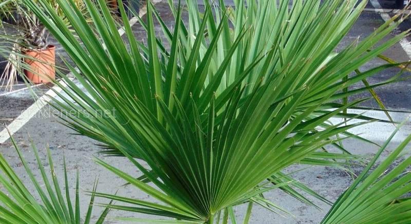 пальма брагея.jpg