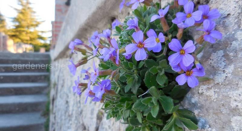 Квітка Обрієта: популярні види і сорти
