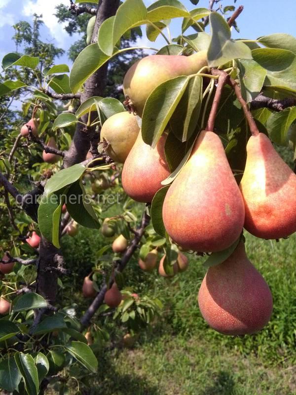 Як боротись із борошнистою росою на груші?