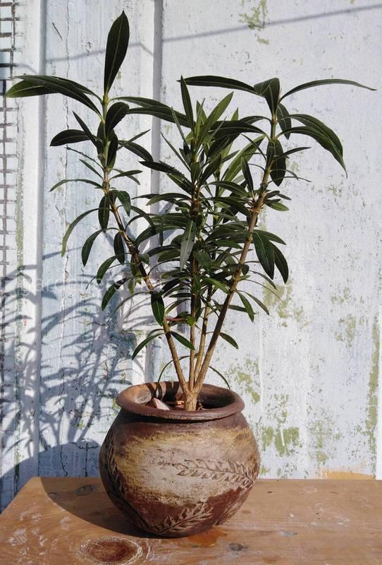 Що робити, якщо у вашому будинку опинилась небезпечна декоративна рослина?