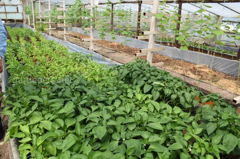 Хлорела СТАРТ застосовується як добриво для рослин