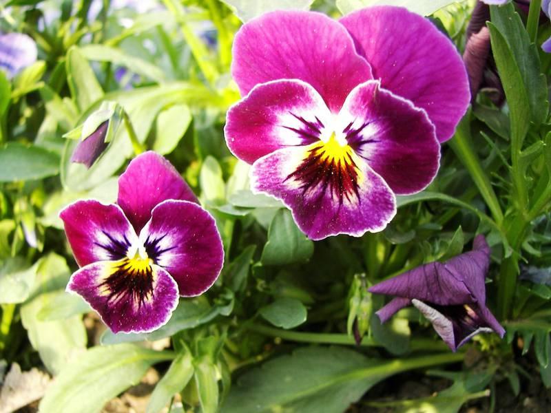 Фиалка трехцветная (Viola tricolor): описание, полезные свойства и лечебное применение