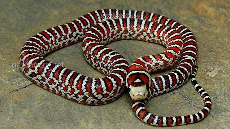 Королевская горная змея Кноблоха
