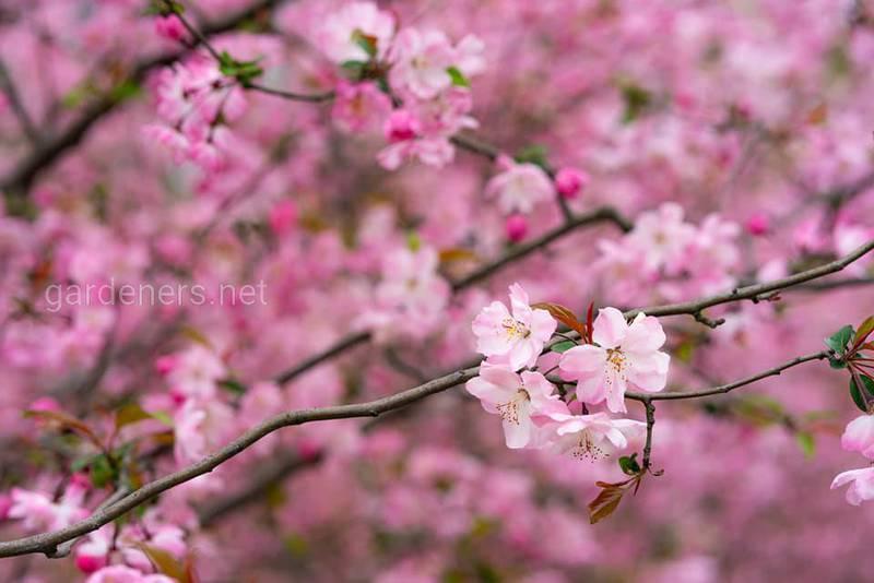 Цветение сакуры - праздник Ханами