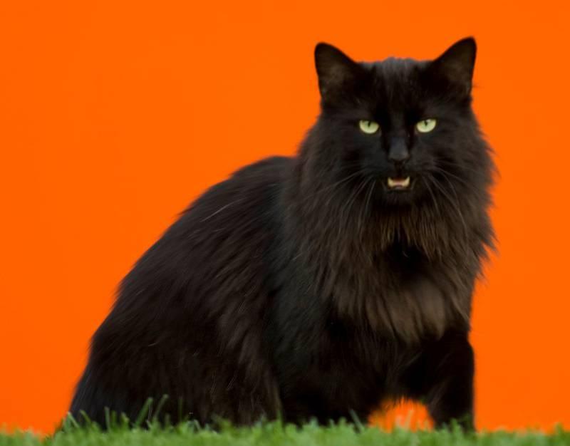 Тиффани кот