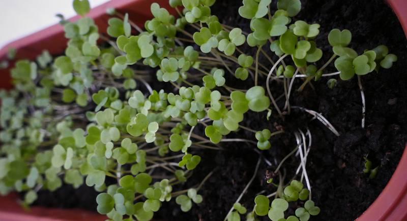 Натуральные стимуляторы роста корней