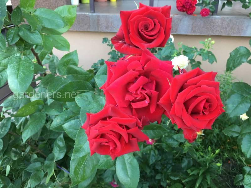 Як виростити здорові та гарні троянди?