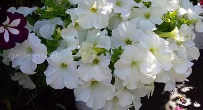 Обожаю петунию за её красоту,аромат, и разнообразие