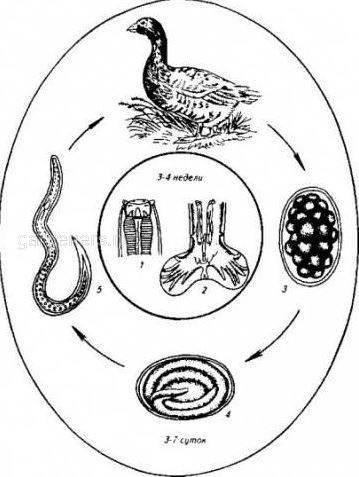 Амидостомидоз