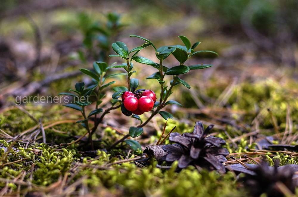 посадка клюквы в саду