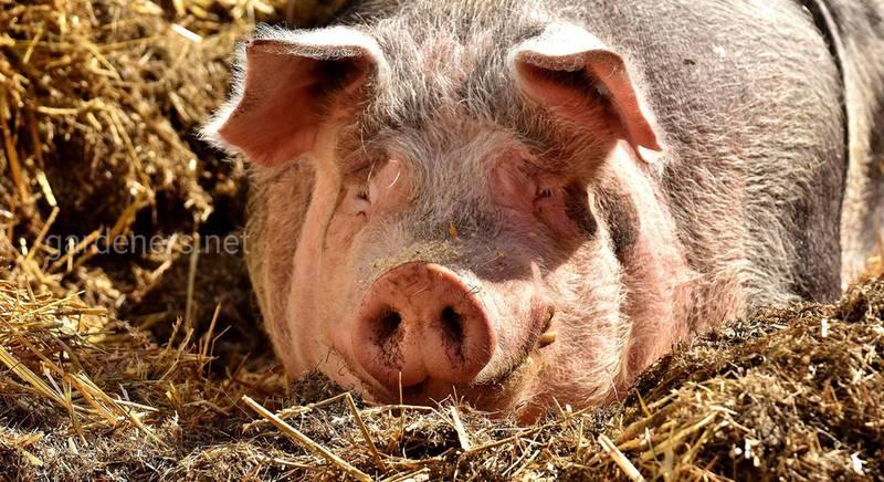 Как приготовить комбикорм для свиней