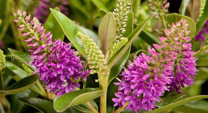 Украшаем сад божественным цветком - Гебой, устойчивым к низким температурам
