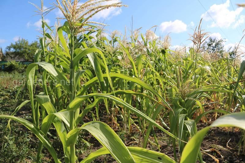 Як правильно вносити добрива перед посівом кукурудзи?