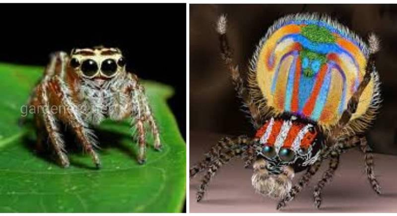Павук-багіра - вегетаріанець серед арахнід!