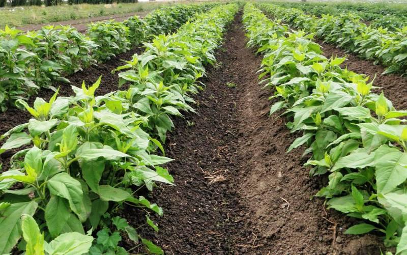 Какие многолетние овощи можно выращивать в саду?