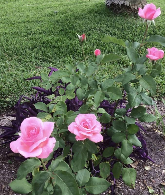 Как вырастить мини-розу в горшке?