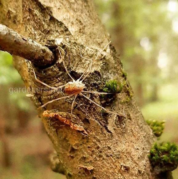 Длинноногий паук