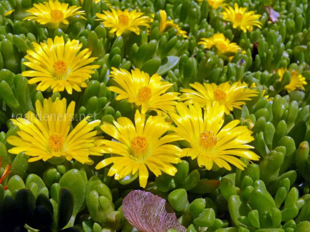 Mesembryanthemum nubigenum