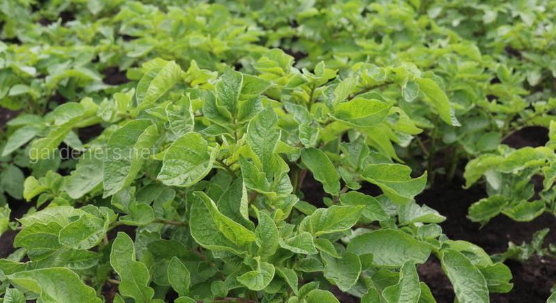 Які гербіциди можна використовувати для захисту від бур'янів після посадки картоплі?