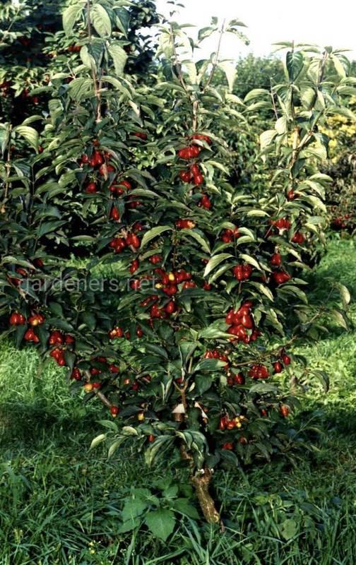 Декоративне дерево з лікарськими плодами - кизил