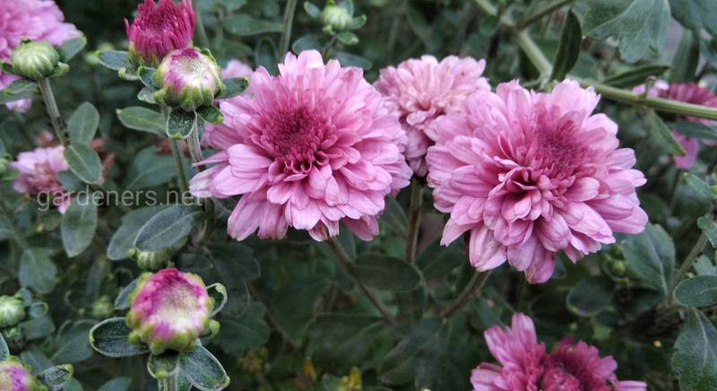 Вредители и заболевания хризантемы: признаки и причины