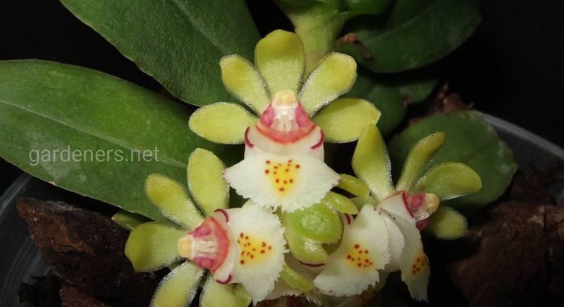 Гастрохілус: як виростити орхідею і змусити її цвісти