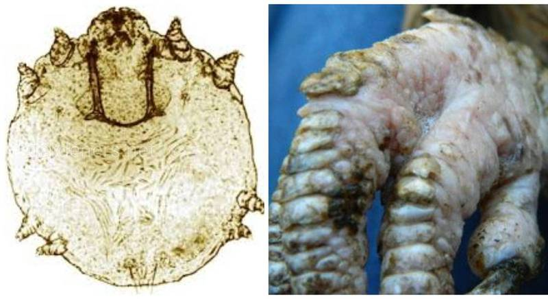 Паразитарное заболевание провоцирующее некроз фаланг пальцев у птиц - кнемидокоптоз