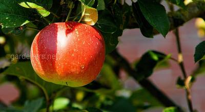 Плюси карликових сортів яблунь