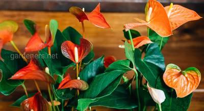 Антуриум: видовое разнообразие экзотического растения с цветами в виде початка