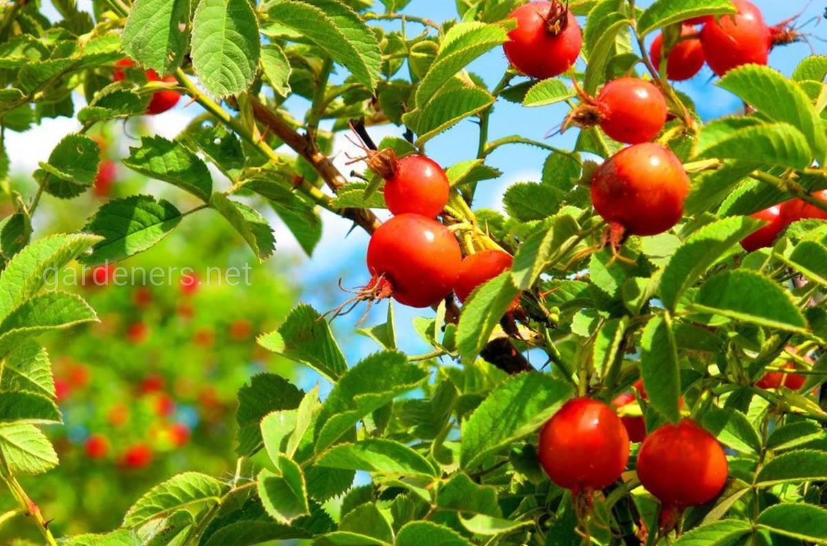 Сорт шиповника Яблочный