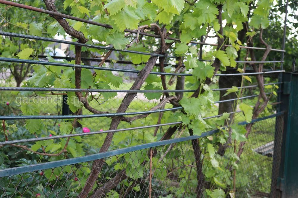 в міжряддях винограду