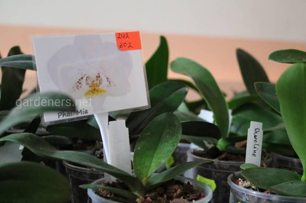 интернет-магазин орхидей из Азии и Голландии