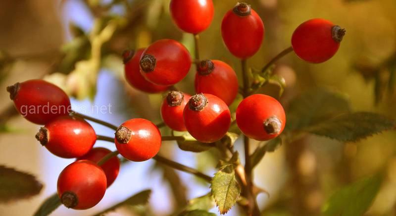 Плоды дикой розы - шиповника - содержат больше витамина С, чем лимоны