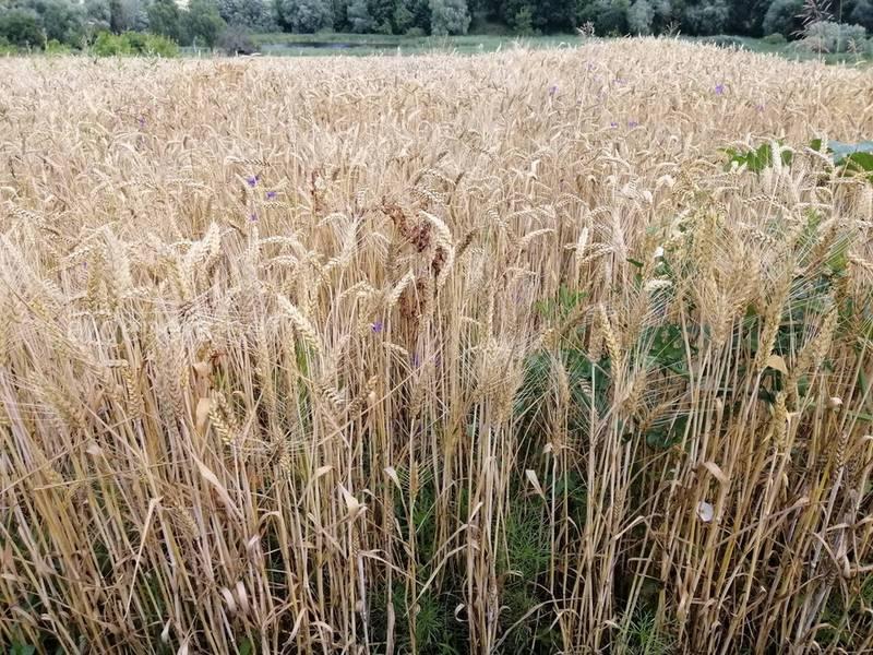 Як захистити врожай пшениці від фузаріозу?